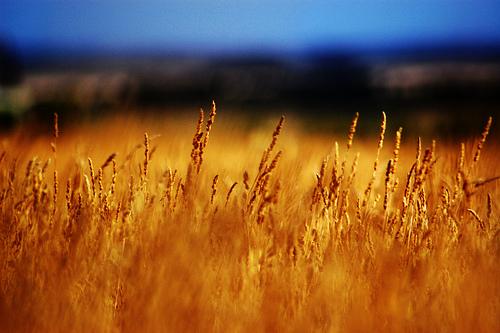 evolutionyou.net | wheat