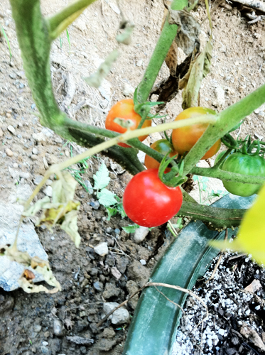 evolutionyou.net | cherry tomatoes