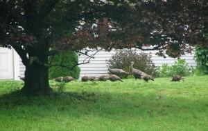 evolutionyou.net | wild turkey family