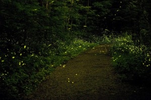 fireflies | evolutionyou.net