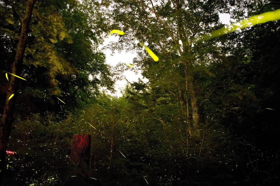fireflies   evolutionyou.net
