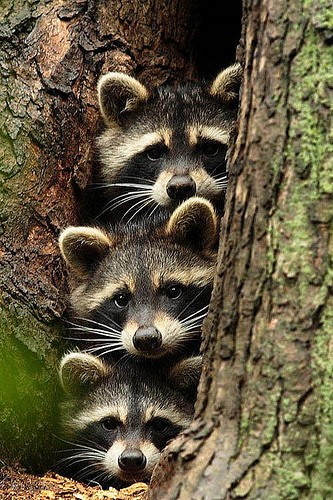 evolutionyou.net | Raccoon Family