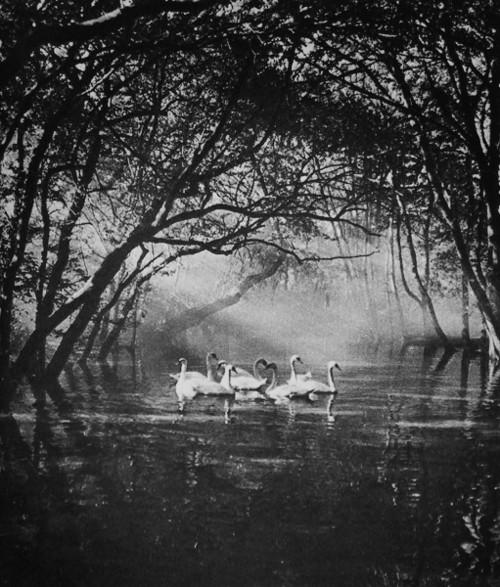 evolutonyou.net | swans