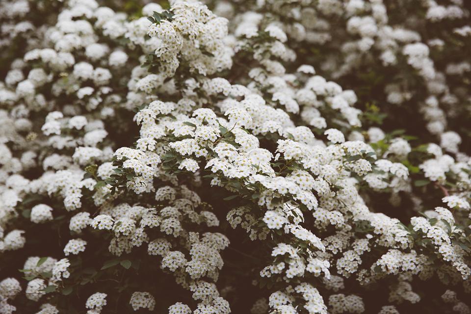 vintage white flowering bush