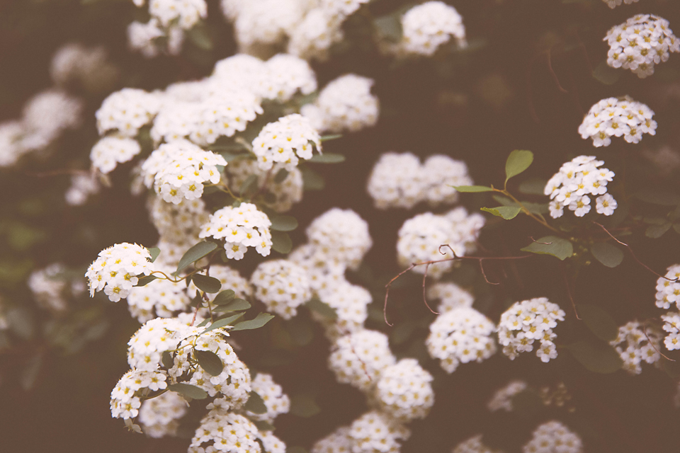 vintage white flowering bush