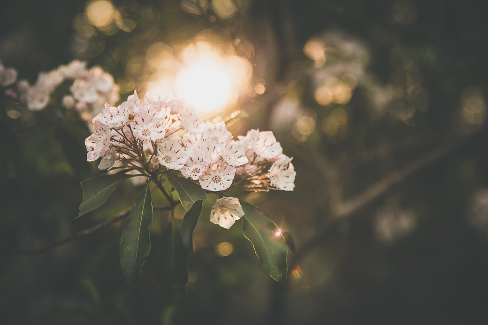 mountain laurel | livelovesimple.com