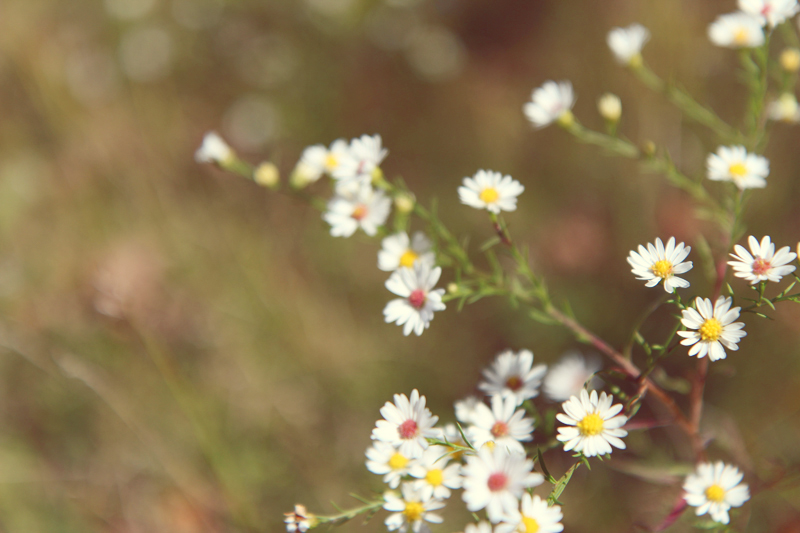 daisies // livelovesimple.com
