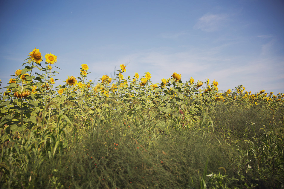 sunflower maze // livelovesimple.com