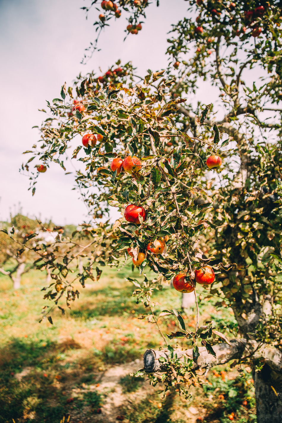 autumn apple orchard // livelovesimple.com