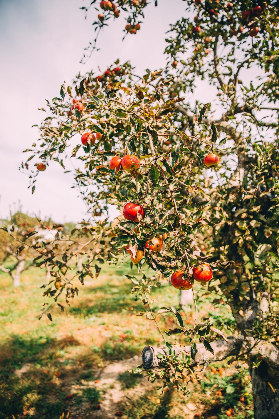 autumn apple orchard // livelovesimple.com