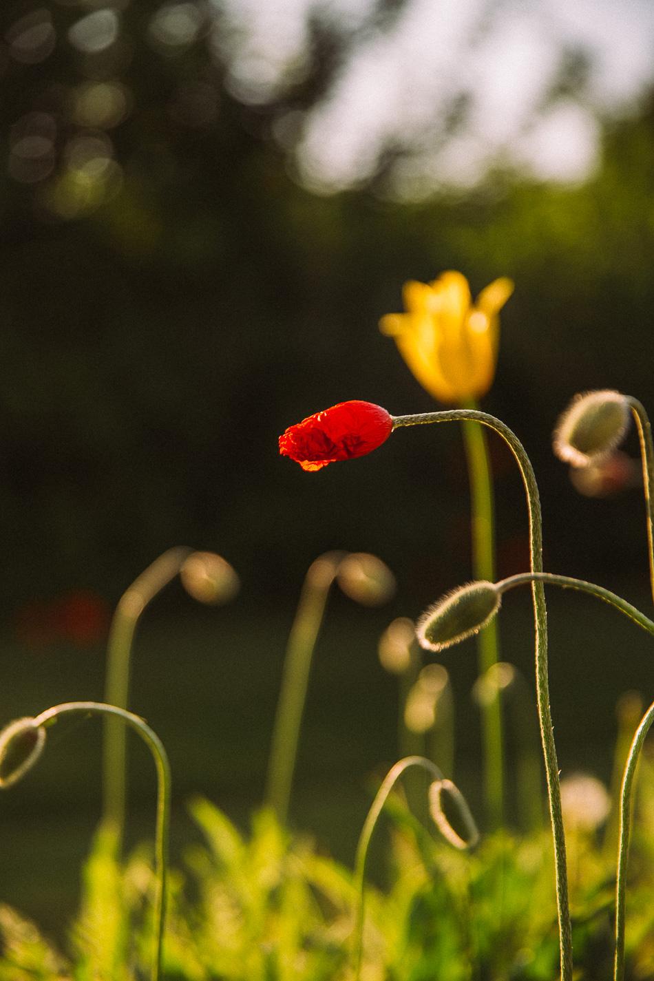 poppies // livelovesimple.com